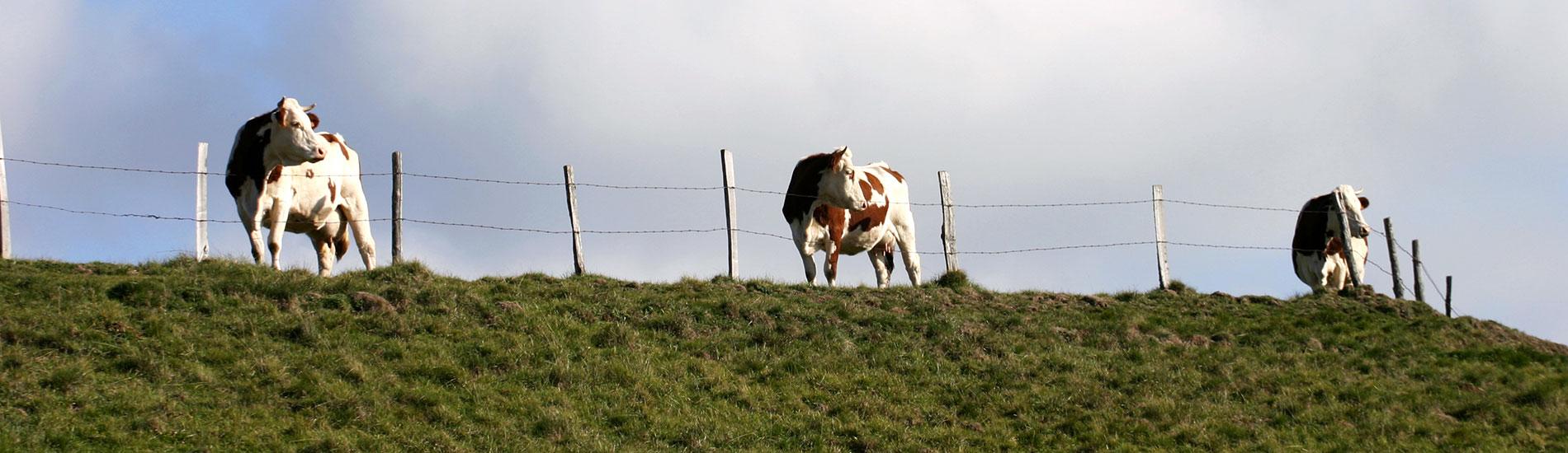 vache2